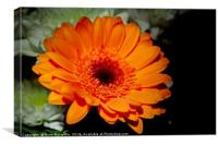 Gerbera Orange, Canvas Print