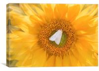 A moth on a sunflower., Canvas Print