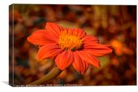 Mexican Sunflower with autumnal colored background, Canvas Print