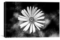 Single Celmisia Hookeri white flower marble, Canvas Print