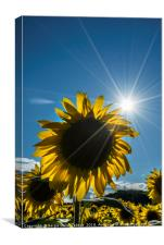 sunflowers in summer, Canvas Print