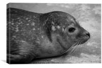 Harbour Seal , Canvas Print