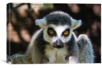 Ring-Tailed Lemur , Canvas Print
