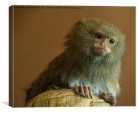 Pygmy Marmoset Portrait, Canvas Print