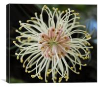 Bottlebrush flower , Canvas Print