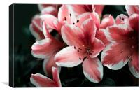 Pink lilies, Canvas Print