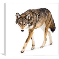 Red Wolf in Snow VIII, Canvas Print
