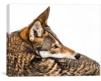 Red Wolf in Snow IX, Canvas Print