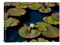 Lily Pads in the Sun, Canvas Print