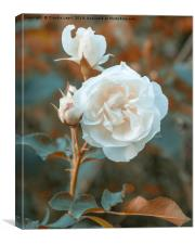 White roses on orange background, Canvas Print