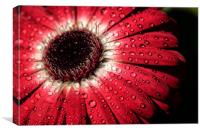 Water droplets on a flower, Canvas Print