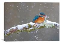 Kingfisher with catch in the snow, Cardiff Wales, Canvas Print