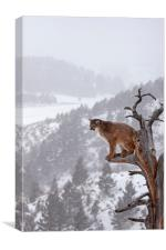 Cougar sitting in a tree, North America, Canvas Print