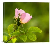 Pink and Green, Canvas Print