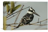 Pied Kingfisher - Ceryle rudis, Canvas Print