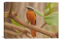 White-crowned Robin Chat - Cossypha albicapilla, Canvas Print