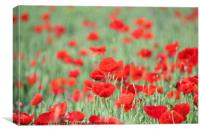 poppy and green wheat, Canvas Print