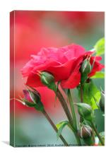 red rose flower, Canvas Print