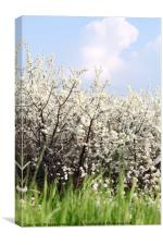 green grass white flowers and blue sky spring scen, Canvas Print