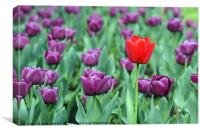 purple and one red tulip flower, Canvas Print