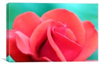red rose flower close up, Canvas Print