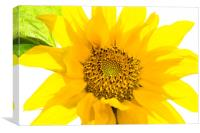 Yellow Sunflower basking in the summer sunlight, Canvas Print