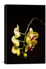 Yellow Orchid Still Life, Canvas Print