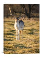 Fallow Deer at the Knole Park, Canvas Print