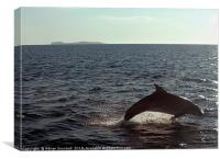 Dolphin in Loch Na Keal, Mull, Canvas Print