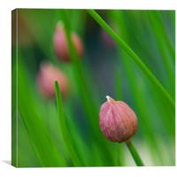 Chives, Canvas Print