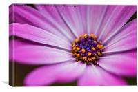 Blue Eyed African Daisy, Canvas Print