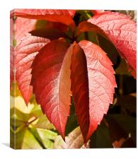 Hanging leaves, Virginia creeper, Canvas Print