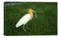 Cattle Egret with prey., Canvas Print