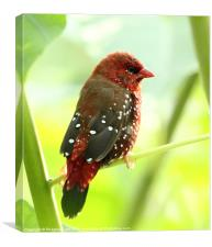 Red Munia [m], Canvas Print