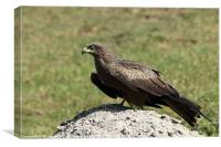 Black Kite, Canvas Print