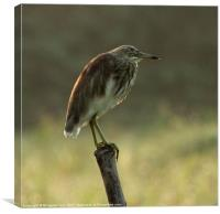Indian Pond Heron, Canvas Print