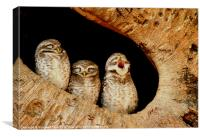 The Spotted Owlet, Canvas Print