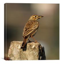 Paddyfield Pipit with prey, Canvas Print