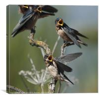 Barn Swallow babies asking for food...., Canvas Print