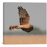 Montagus Harrier f, Canvas Print