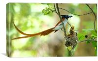 Indian Paradise Flycatcher m with chicks...., Canvas Print