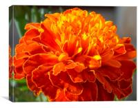 African Marigold, Canvas Print