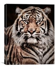 Sumatran Tiger Portrait, Canvas Print