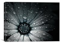 Raindrops On An African Daisy, Canvas Print