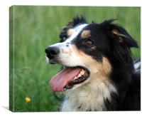 Border Collie - Nell, Canvas Print