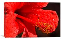 Close up of a red Hibiscus, Canvas Print