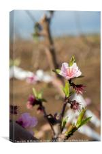 almond blossoms, Canvas Print