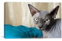 Canadian Sphynx cat, Canvas Print