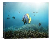 Batfish, Canvas Print
