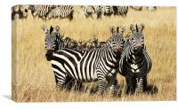 Three Zebras, Canvas Print